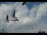 滇池的海鸥们