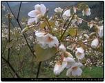 大戟科油桐(花)