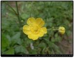 毛茛(花)