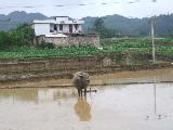 好奇的水牛