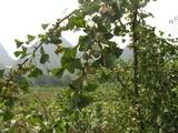 路边好多的白果树