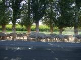 公路上的羊群