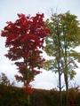 遇到的第一棵红叶树