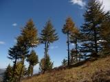 山顶的针叶树
