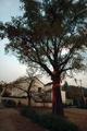 古杏公园里最大的一棵,所谓的古杏公园,就是一个开放的?#30452;?#33457;园
