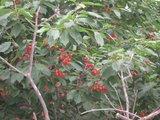 满树的樱桃1
