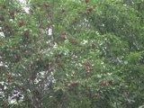 满树的樱桃2