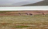 鄂陵湖边野驴