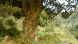 上湖岭古树