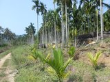 六罗村--槟榔树