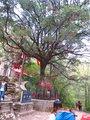 0624 铁甲树