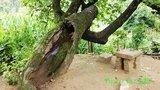 拜石村翟姓农家的老核桃树