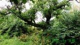 拜石村大树