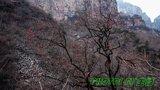 韩口村旁的柿子树